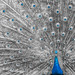 Peacock / Portrait by Cem Bayir photography