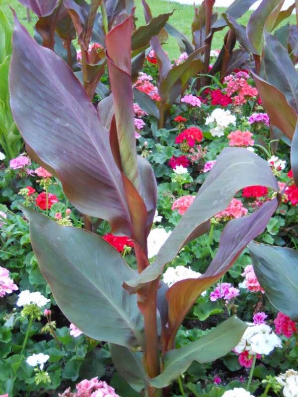 Canna indica-hybrida 'Hoja Marrón' v 1