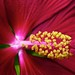 Hibiscus by J Henry G