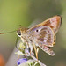 Violet-banded Skipper - Photo (c) Jerry Oldenettel, some rights reserved (CC BY-NC-SA)