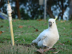 pet(0.0), parakeet(0.0), wildlife(0.0), cockatoo(1.0), animal(1.0), parrot(1.0), sulphur crested cockatoo(1.0), fauna(1.0), bird(1.0),