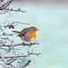 Robin by chapmankj75