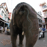 Coming Across an Elephant on the Streets of Udaipur, India