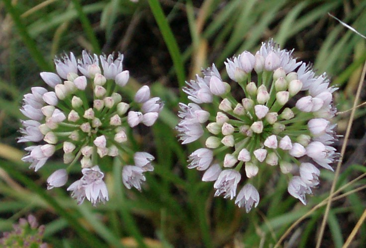 Allium senescens 5298956501_d36d1abed3_o