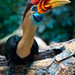 A Red-knobbed hornbill. My new favorite bird posing for me.