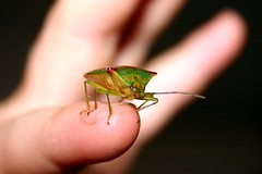Found insect V