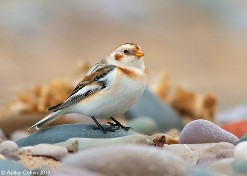 Snow Bunting - I Claim This Pebble  [Last Image 2010] - Explored Front Page!