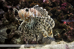 coral reef(1.0), animal(1.0), fish(1.0), marine biology(1.0), fauna(1.0), lionfish(1.0), scorpionfish(1.0), reef(1.0), aquarium(1.0), wildlife(1.0),
