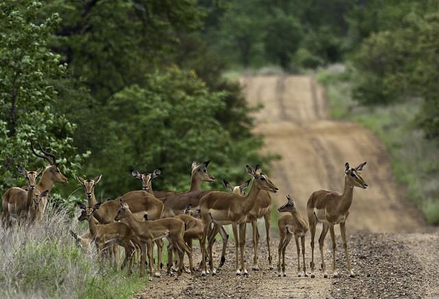Impala, Kruger Nationaal Park