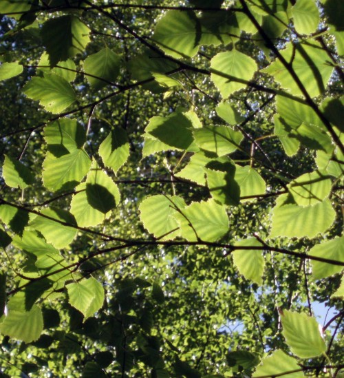 Betula pubescens 5331998079_7b078462b9_o