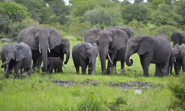 African Elephants - Herd