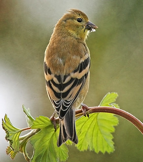American Goldfinch Textured