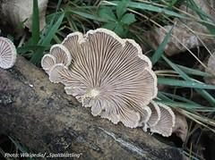 pleurotus eryngii(0.0), agaric(0.0), fauna(0.0), matsutake(0.0), champignon(0.0), medicinal mushroom(1.0), oyster mushroom(1.0), mushroom(1.0), agaricaceae(1.0), flora(1.0), fungus(1.0), agaricomycetes(1.0), hen-of-the-wood(1.0), edible mushroom(1.0),