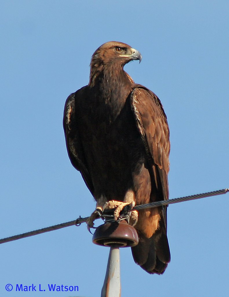 golden eagle birds of san diego county california inaturalist org