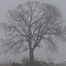 Bare tree in Winter Fog