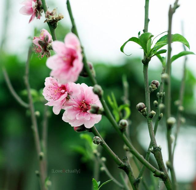 Ảnh đẹp hoa đào ngày Tết