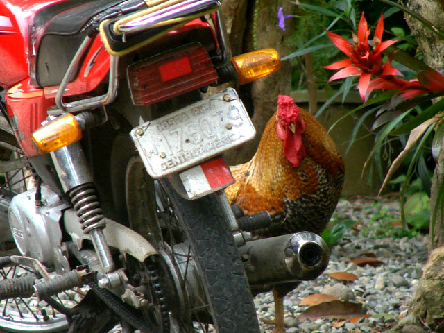 rooster-with-motocycle