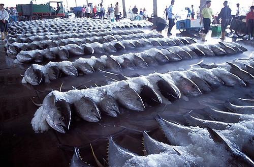 東港雖以黑鮪魚知名,捕獲量卻直直落。(攝影:金磊)