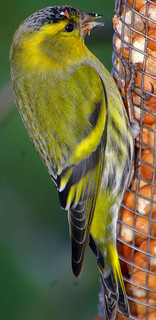 Pentax K100D.Flash.55-300mm Lens.Siskin Study.January 6th 2011.