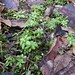 Small photo of Sweet Woodruff
