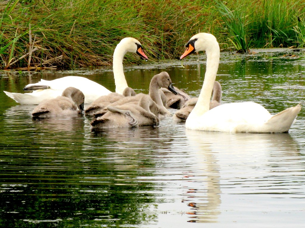 Happy mothers Day 2012/Mothers day greetings to all/ Swan family