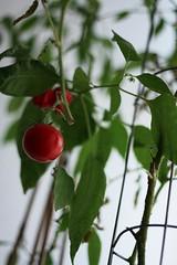 Tomatenpflanze in Nahaufnahme
