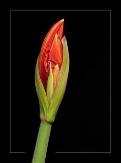 Amaryllis Bud in progress...