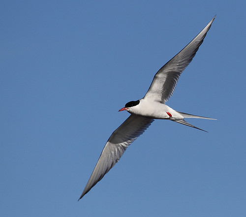 Sterna hirundo Common Tern Fisktärna