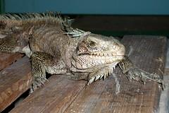 Iguane (Guadeloupe).
