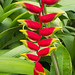 Lobster Claw Heliconia - Photo (c) Peter Nijenhuis, some rights reserved (CC BY-NC-ND)