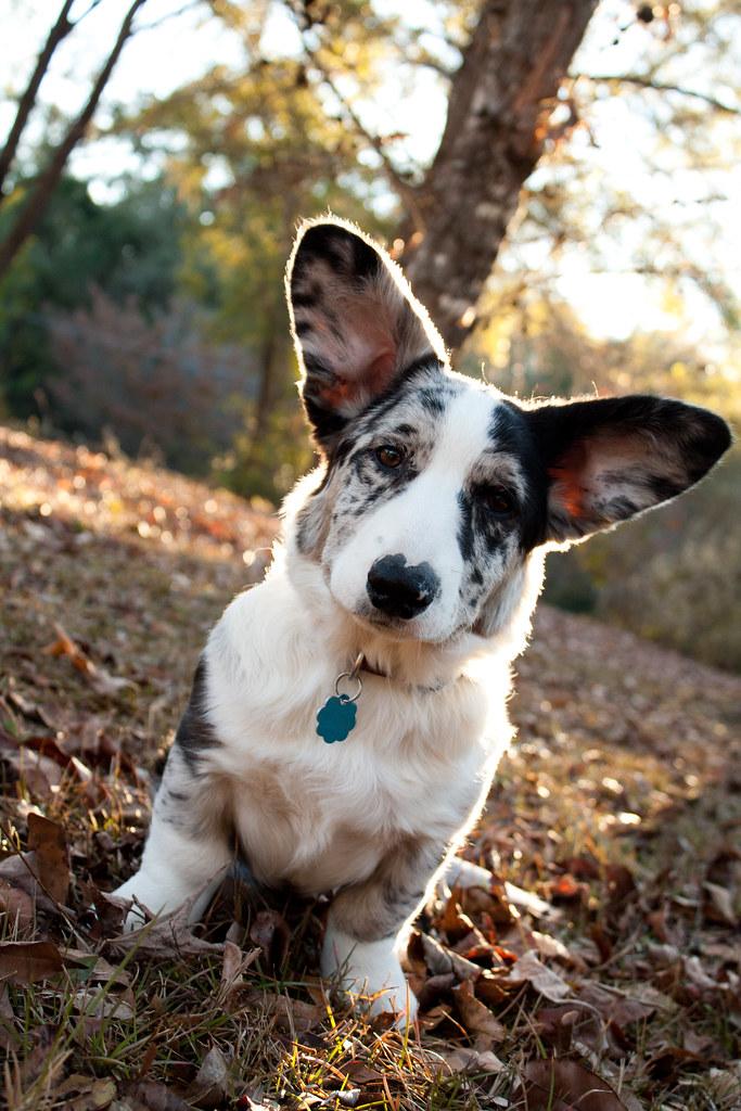 Byron Cardigan Welsh Corgi Puppy 5 Months Went For A V Flickr