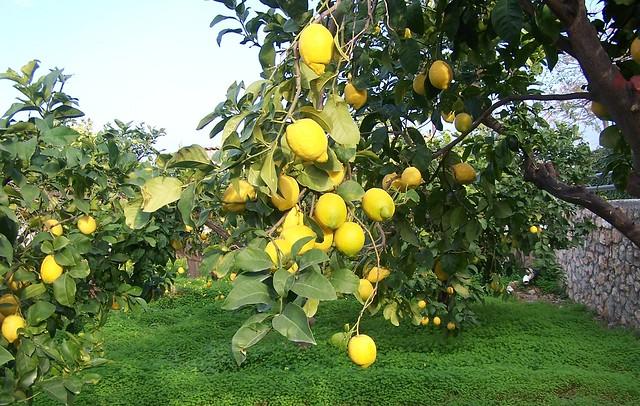 Laden Lemon Trees