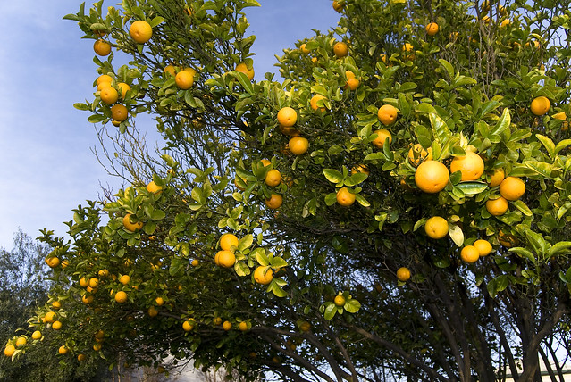 orange trees citrus color measurement