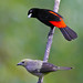 Cherrie's and Palm Tanagers (Ramphocelus costaricensis / Thraupis palmarum))