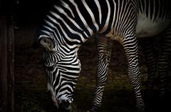 zebra at chessington