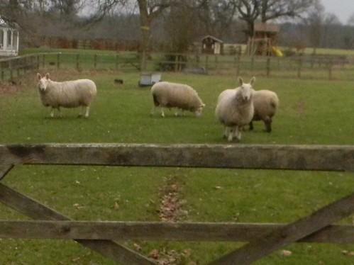 Sheep with big ears