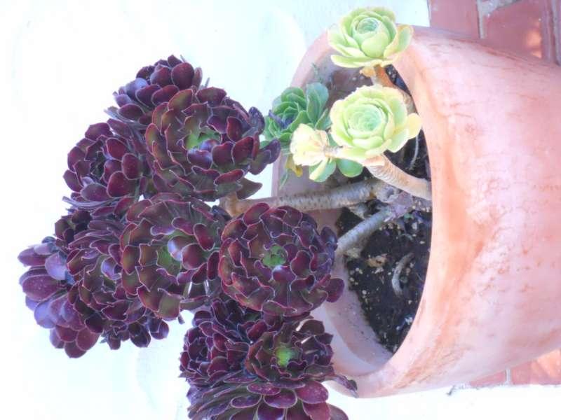 Aeonium arboreum v 5.