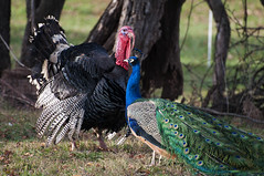 turkey(1.0), animal(1.0), peafowl(1.0), wing(1.0), fauna(1.0), fowl(1.0), wild turkey(1.0), domesticated turkey(1.0), bird(1.0), galliformes(1.0), wildlife(1.0),