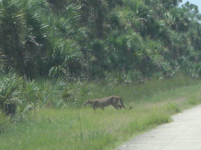 Florida panther near 72nd Ave. SE and Everglades Blvd.