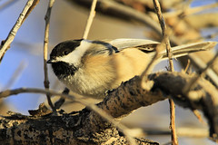Black-capped chickadee eyes me