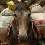A Heavy Mule Load - Annapurna Circuit, Nepal