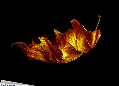 autumn leaves fire leaf vibrant passion fiery dryleaf flickraward fieriness flickraward5 flickrawardgallery ringexcellence dblringexcellence tplringexcellence aldrinarena fieryleaf eltringexcellence
