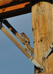 Ladder-backed Woodpecker - Picoides scalaris