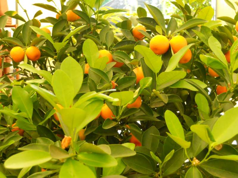 citrus mitis 2