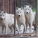 Save the 3 young wolves of Monde Sauvage by bodhibloom
