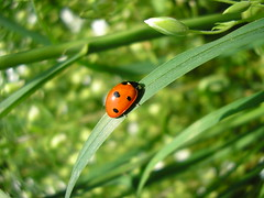 animal, ladybird, flower, branch, leaf, invertebrate, insect, macro photography, green, fauna, close-up, beetle, plant stem,