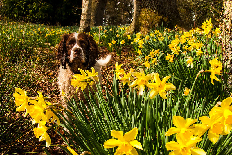 Max in amongst the daffodils