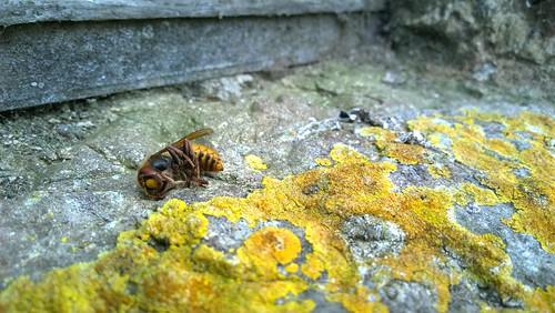 Poor Wasp (109/365)