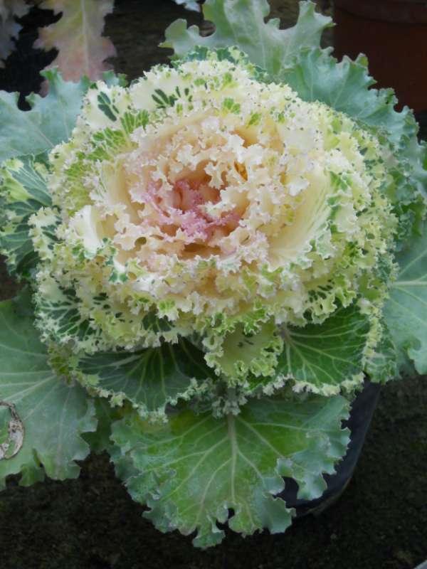 Brassica oleracea v 5