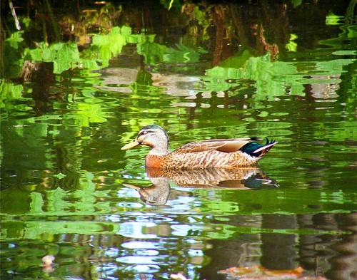 Duck in Green Ripples